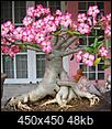 Click image for larger version  Name:Adenium.jpg Views:20 Size:47.9 KB ID:25904